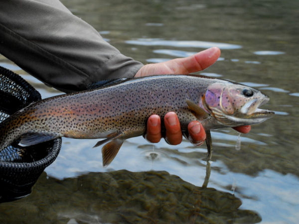 golden_trout.jpg