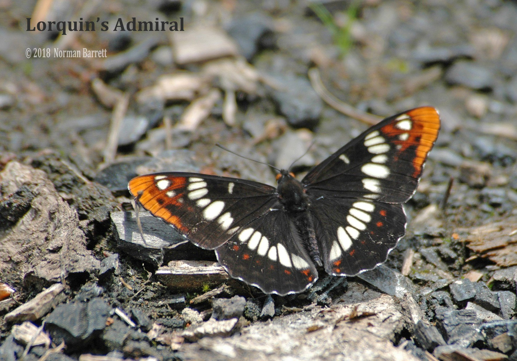 Lorquin's-Admiral-butterfly-Oregon