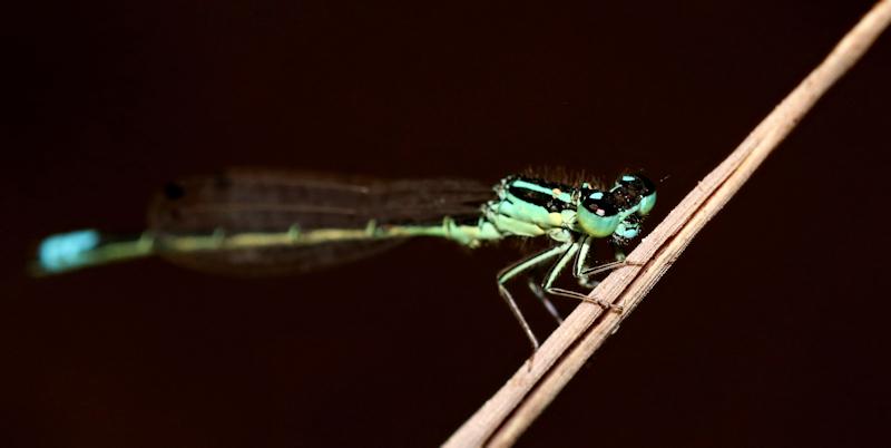 green damsel 2.jpg