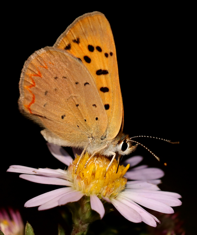 copper on aster.jpg