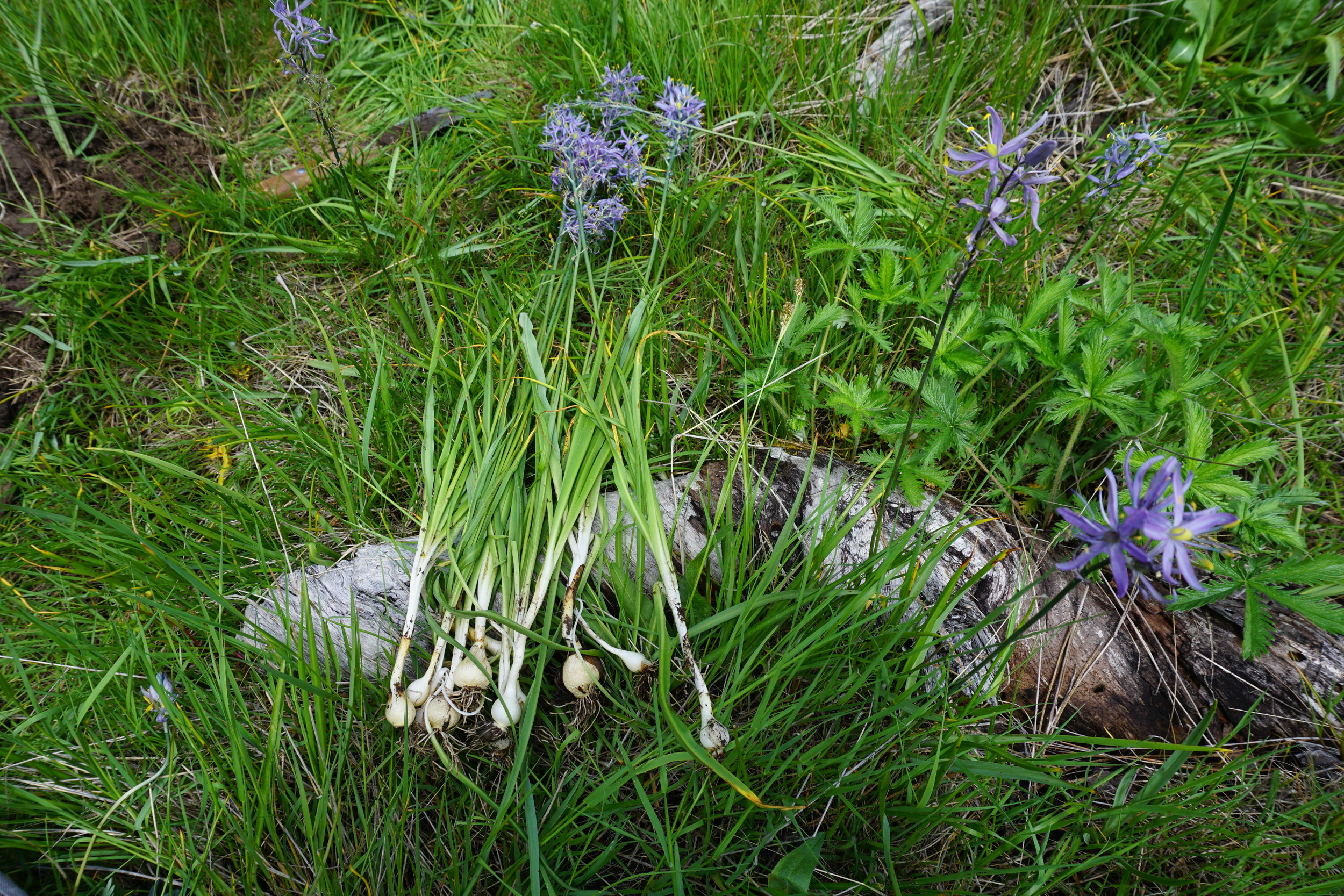 "Camas lily,  Camassia quamash,  is a staple first food among indigenous peoples throughout the western United States. According to an interview with a local native elder in 1933, the immediate area near Vesper Meadow was know as a ""favorite camas meadow"" to the native Latgawa people. Native people, specifically women, would spend weeks in the fall tending the meadows and promoting healthy camas growth. The bulb of this lily is a sweet and starchy treat, making it a rich food source and a valuable part of the inextricable land-food-people web of life.  photo courtesy of the Hawthorne Institute."