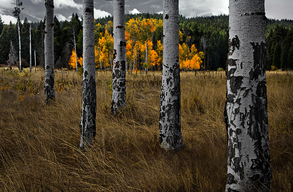 Aspen trunks made a pattern with another grove's fall color shining through in the background. by Matt Witt
