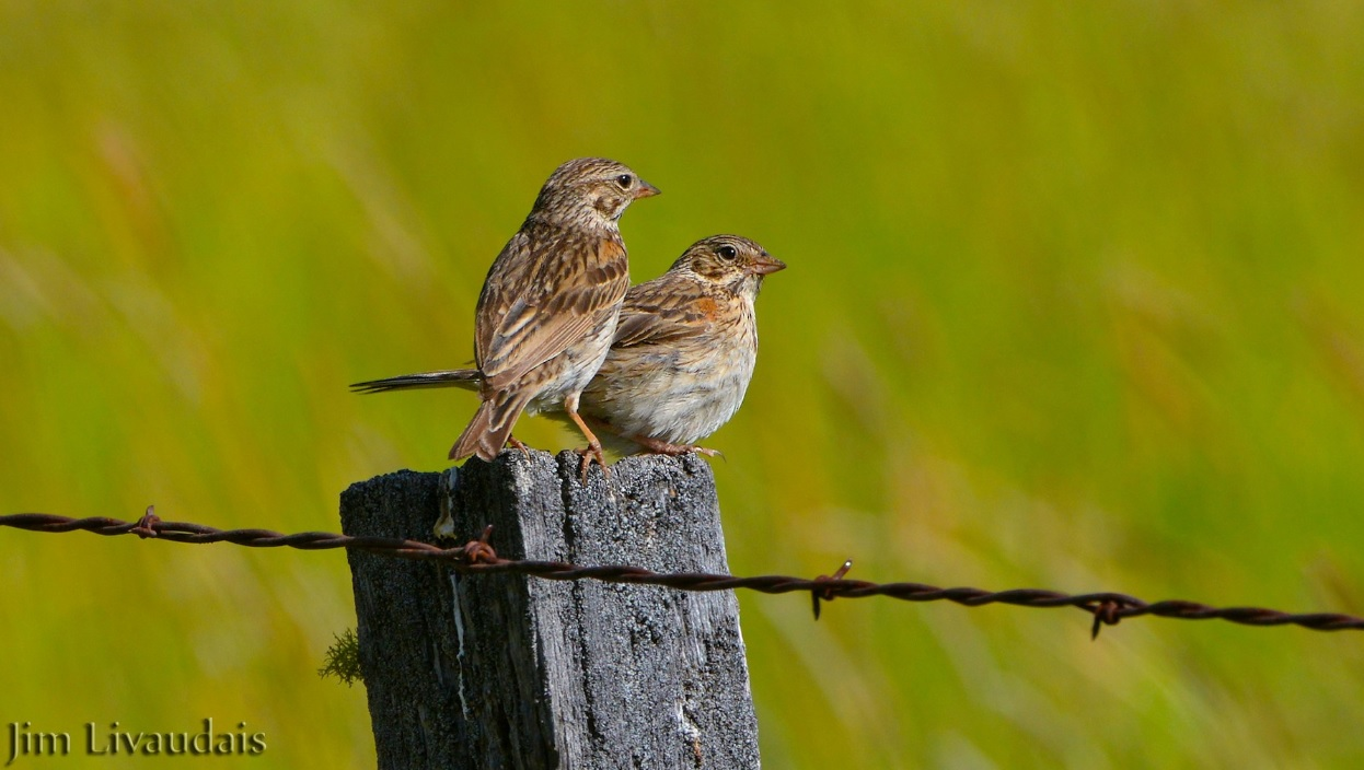 Vesper-Sparrow-volunteer-monitoring