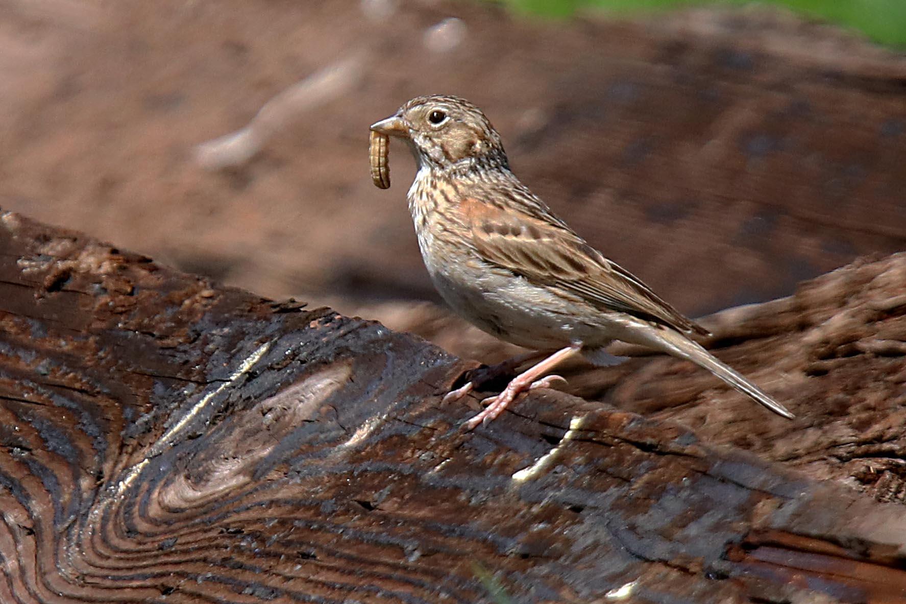 The Oregon Vesper Sparrow parent forages grubs for its nestlings. Picture by Mel Clements