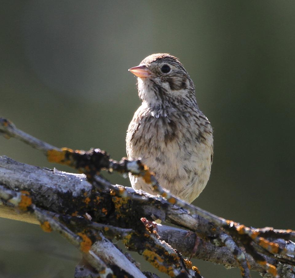 Vesper-sparrow-birding-ashland-hotspot