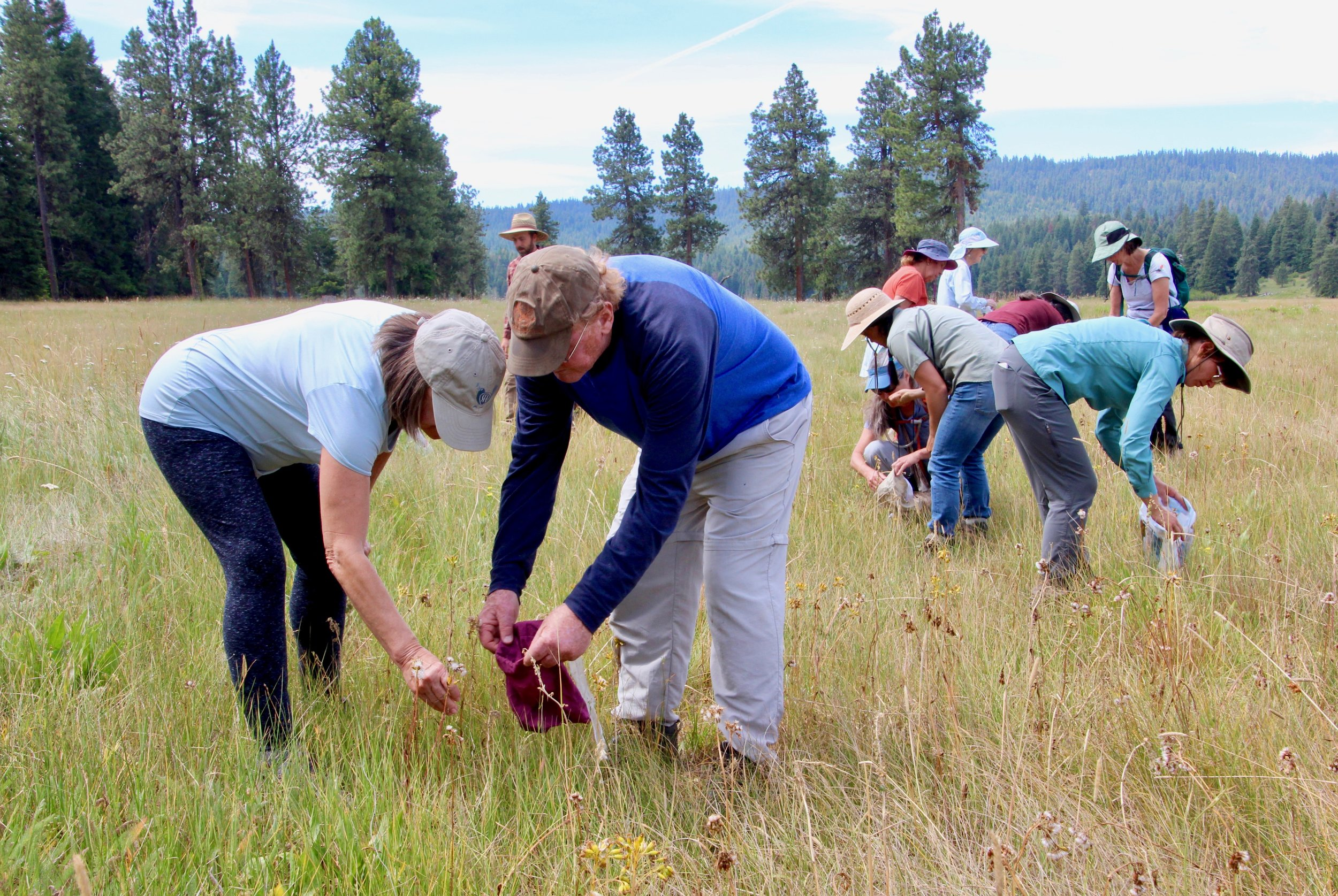Collecting seeds of native food plants for future restoration projects, August 2019. Photo by Linda Thomas