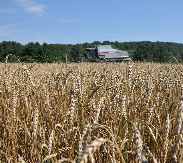 From seed to shelf, Tom Kenyon plants, harvests, processes, and packages @nittygrittygrain. #vermont #vermontfarm #organic