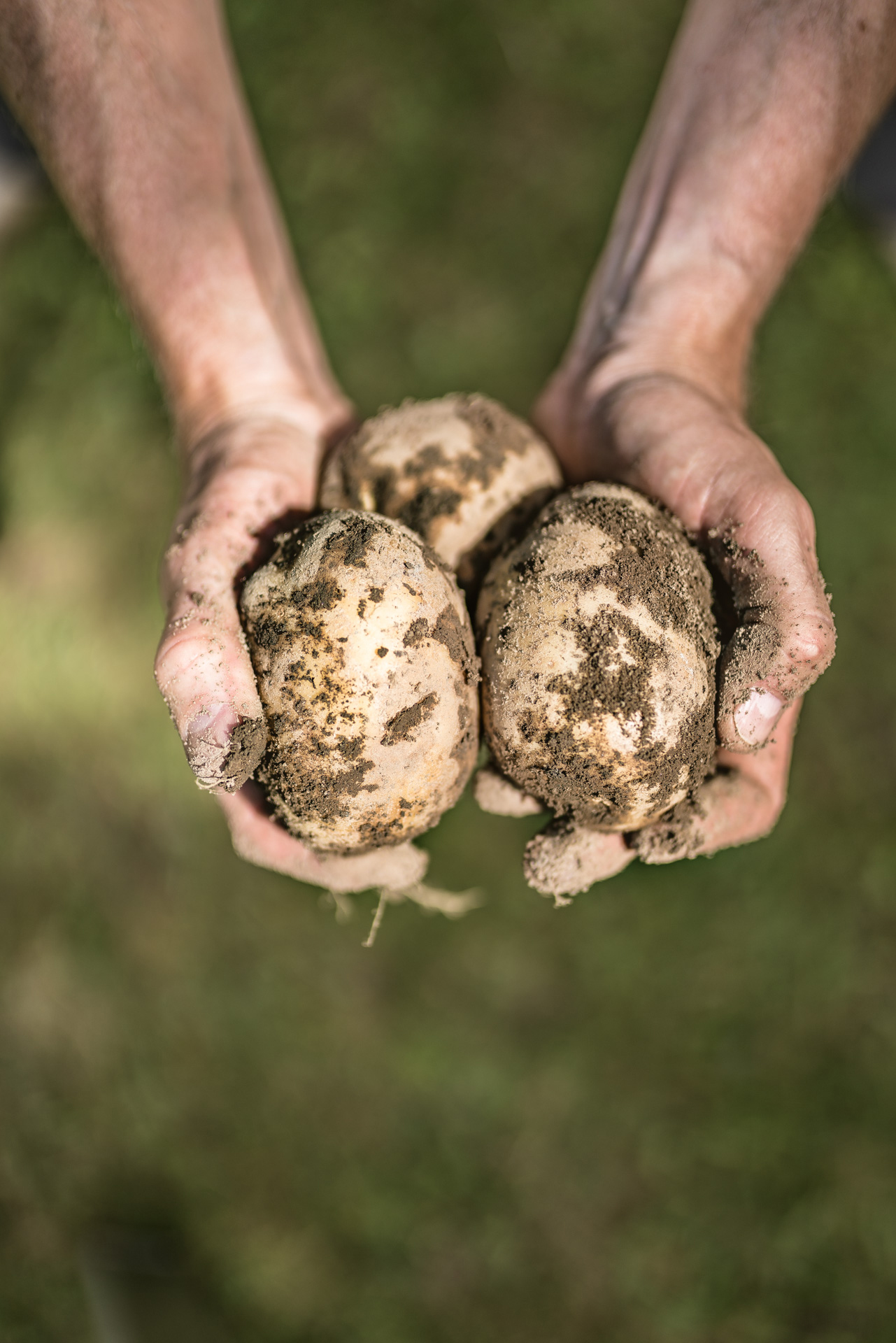 Hands hold organically grown Shelburne, Ontario Downey Potatoes.