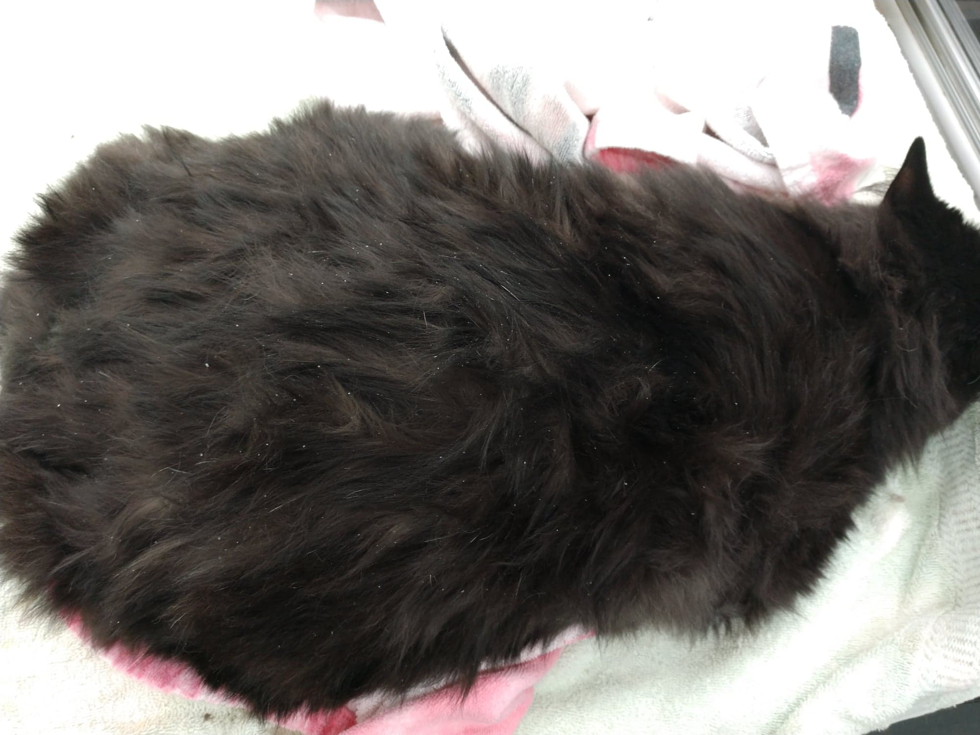 Before kitty. Greasy with mats and dandruff, poopy butt and overgrown nails