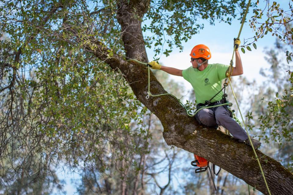 Valley oak pruning - all pruning is accomplished without spurs to protect the cambium of the tree. Lead climber is trained in International Society of Arboriculture pruning standards as well as Tree Care Industry Associate safety practices.
