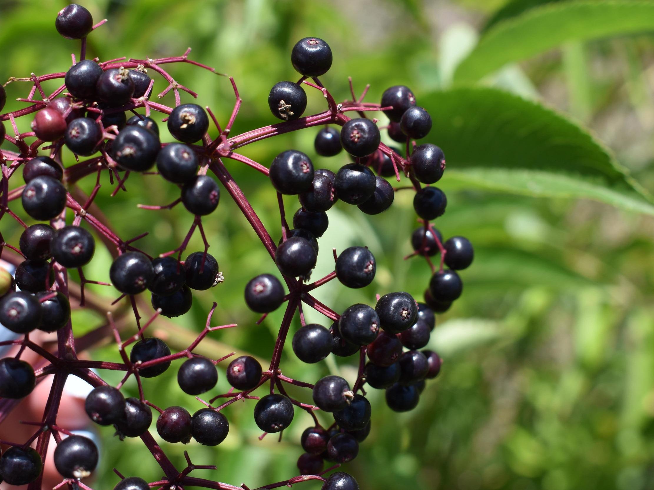 elderberry-4.jpg