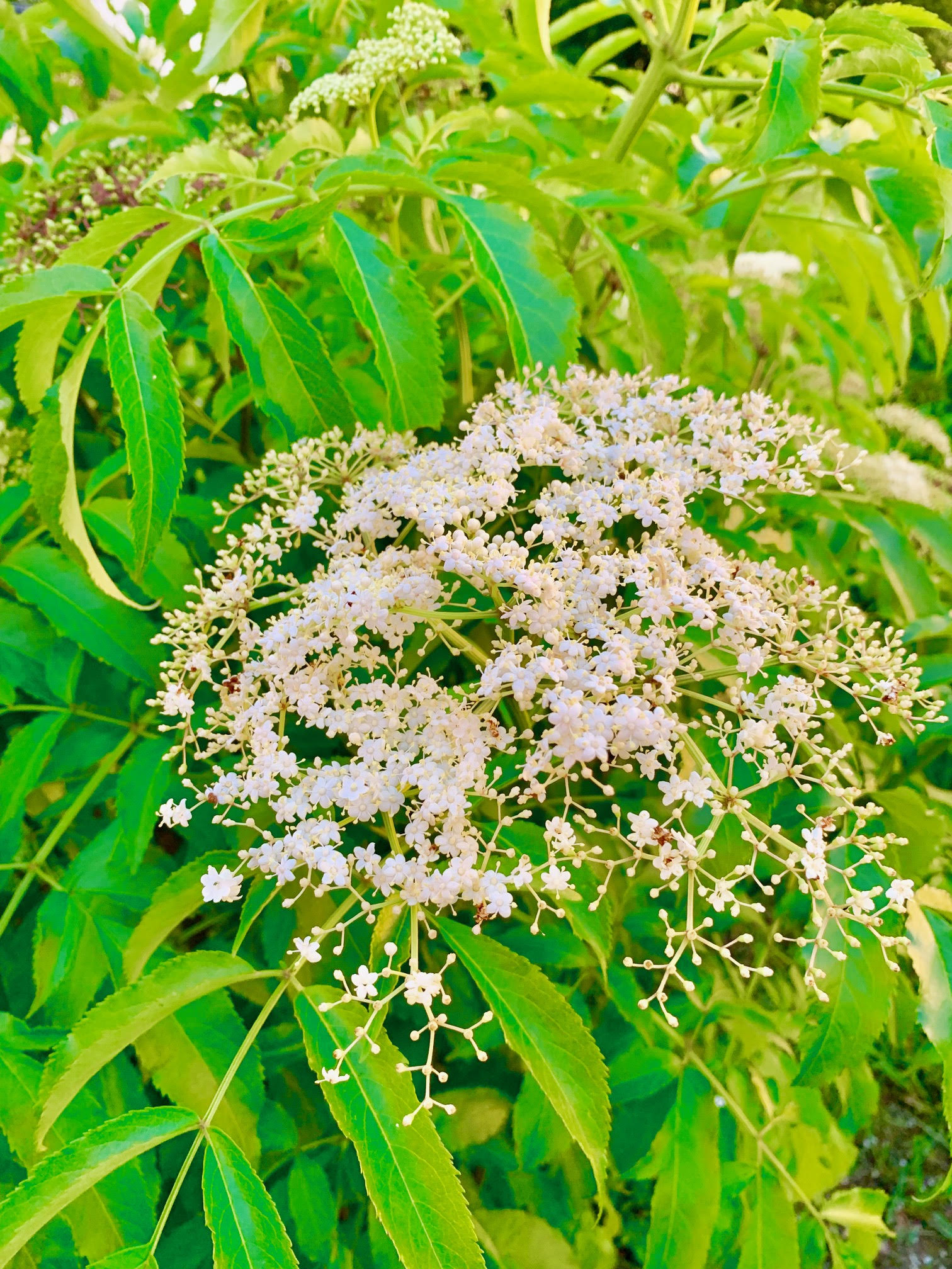 farm-to-table-blooming-elderberry.jpg