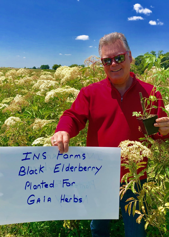 Plant-Elderberry-Gaia-Herbs.jpg