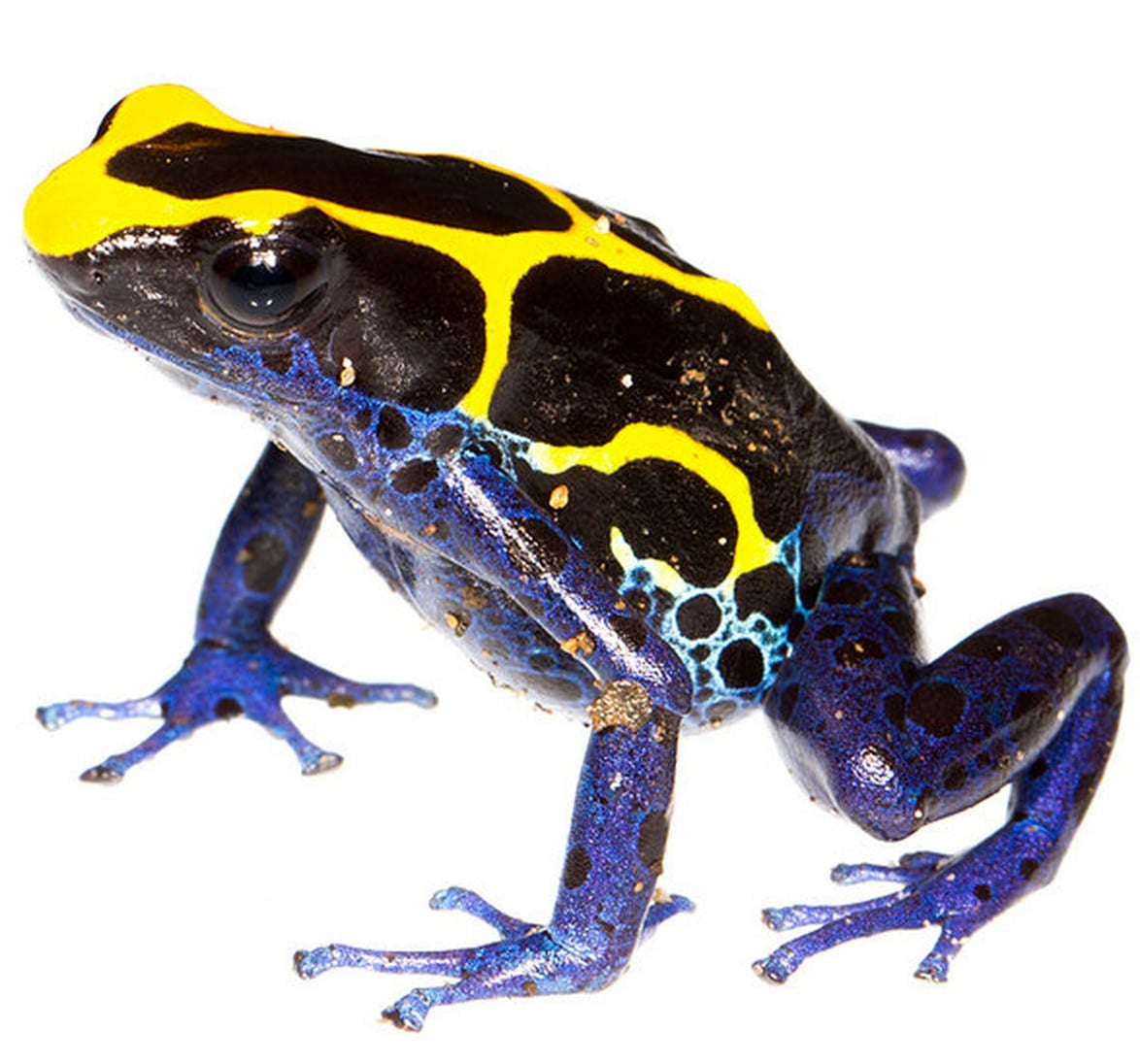 Yellow type of the Dyeing Poison-Frog,  Dendrobates tinctorius.      Image by J.P. Lawrence.