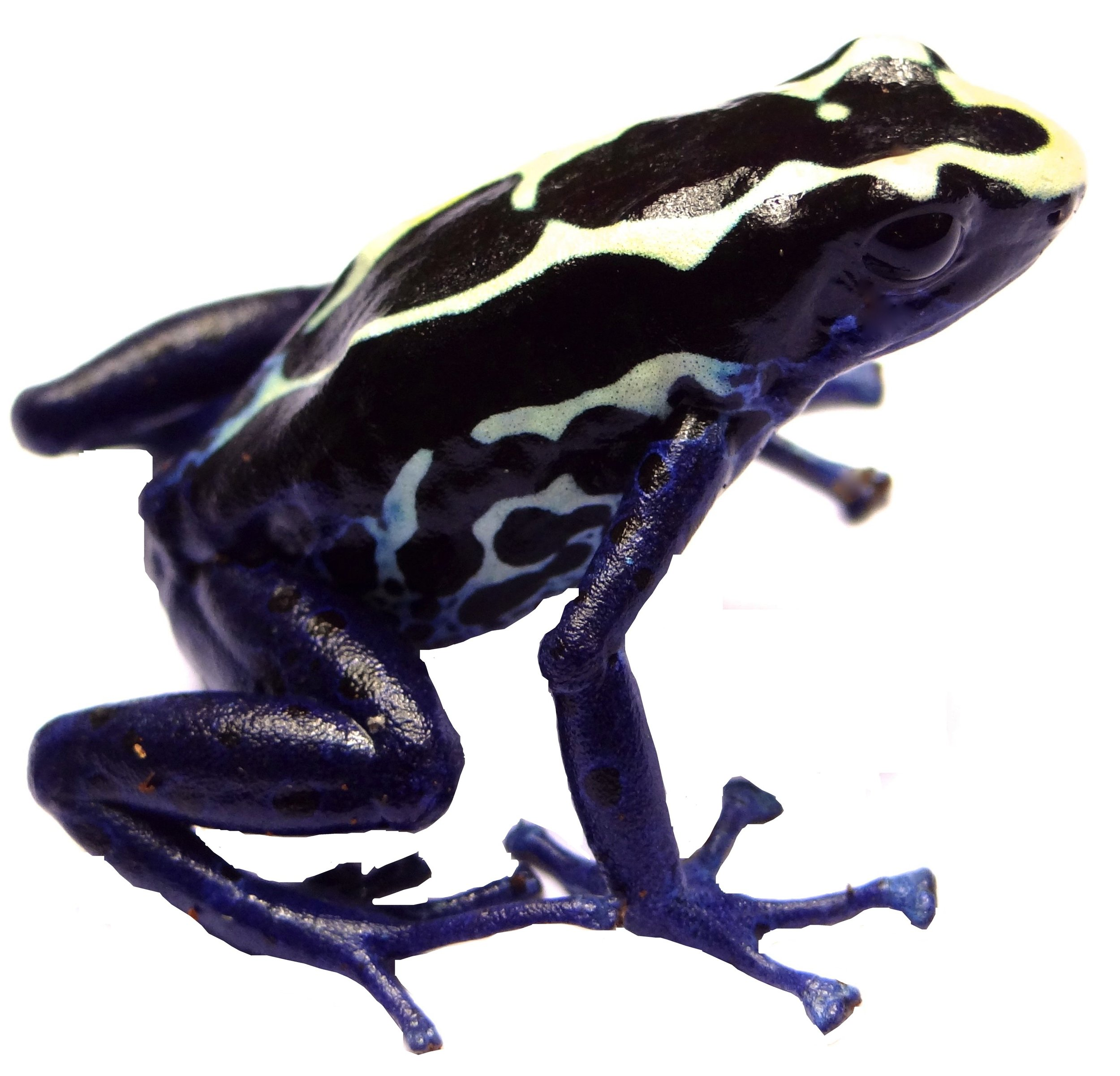White type of the Dyeing Poison-Frog,  Dendrobates tinctorius.      Image by B. Rojas.