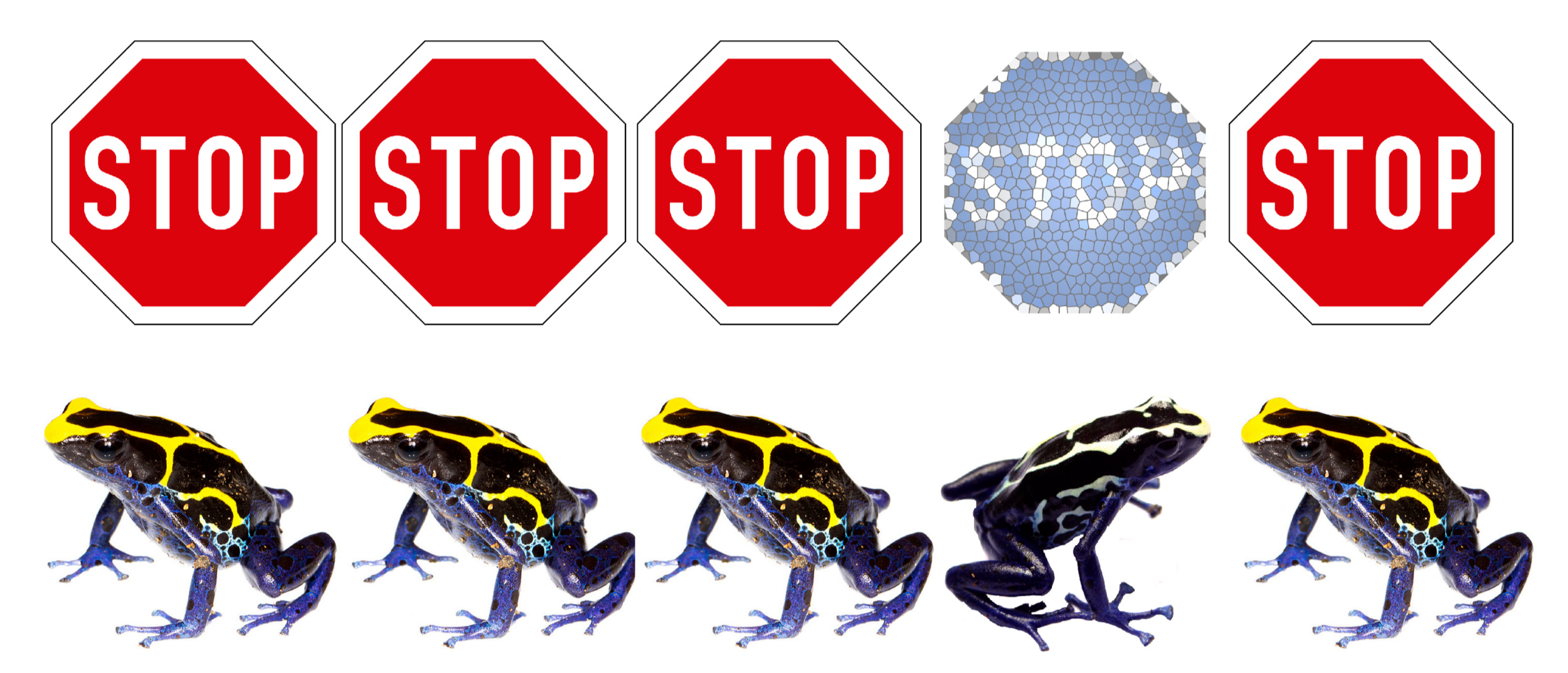 The blue stop sign is less effective than red ones, because red is a common signal for stop. The white-striped frog has a less effective signal than yellow-striped frogs, because yellow is a more common signal for toxicity. Scientists do not expect frogs with different warning colors, just as drivers do not expect stop signs with different colors.   Image Sources: Red Stop Sign by United Nations – Vienna Convention on Road Signs and Signals,  Public Domain . Blue Stop Sign by  Nice4What , CC BY-SA 4.0. Yellow frog by J.P. Lawrence. White frog by B. Rojas.