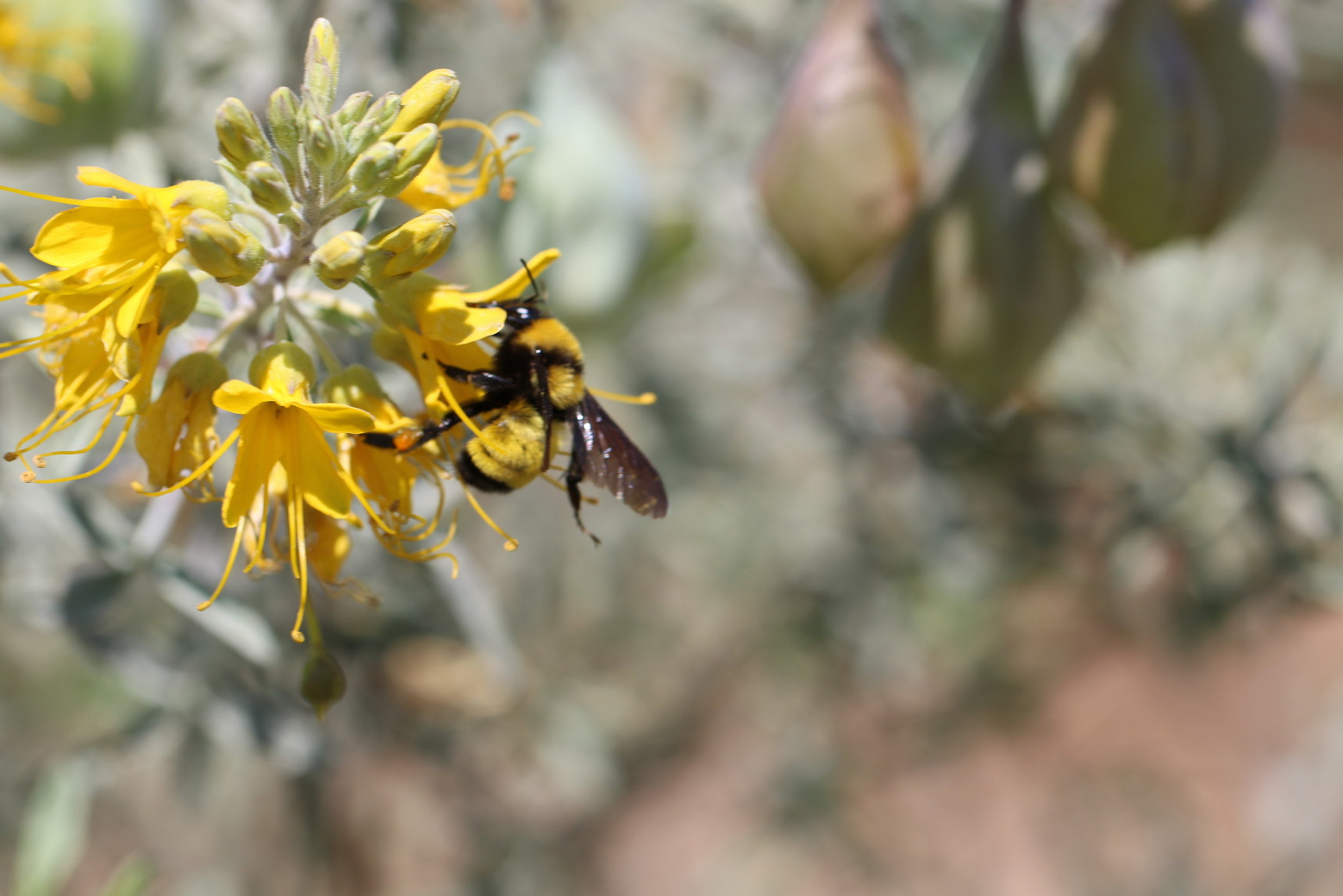 Bumble Bee on Bladderpod, 2018