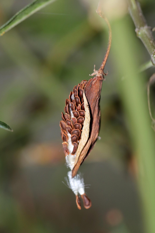 Milkweed Seed Pod I, 2018