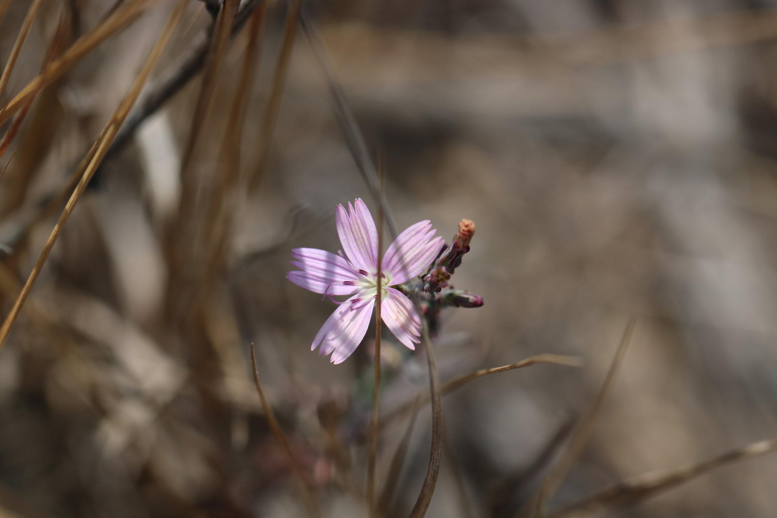 Wild Radish Flower, 2018