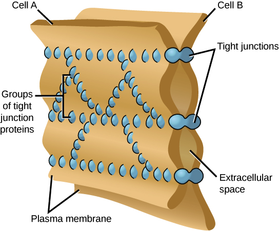 INtracellular tight junctions.png
