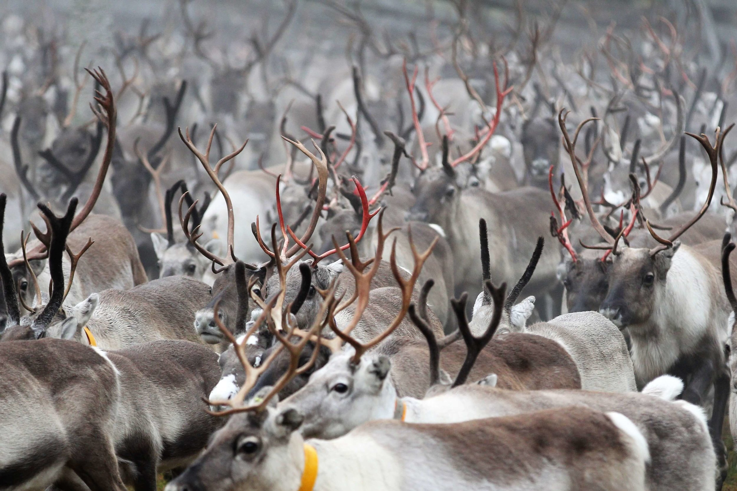 - In November the round-ups continue. The rut is over.Reindeers are moving towards their winter pastures.The males shed their antlers after the rug.Eating plants and mushrooms.The roads are being salted in order to reduce the slippery. The road salt draws the reindeers to the roads.