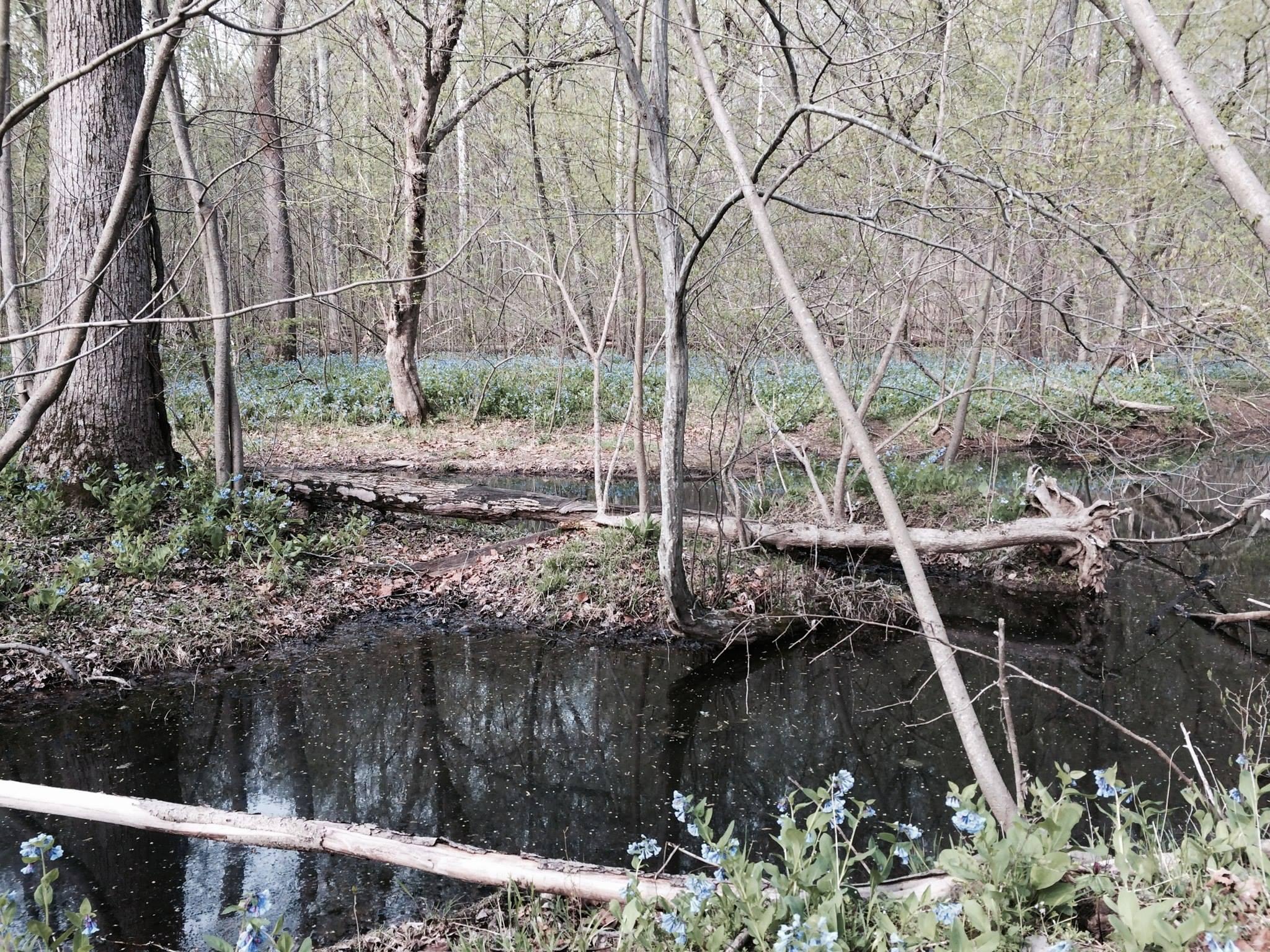 Bluebells on the Potomac River Flood Plain