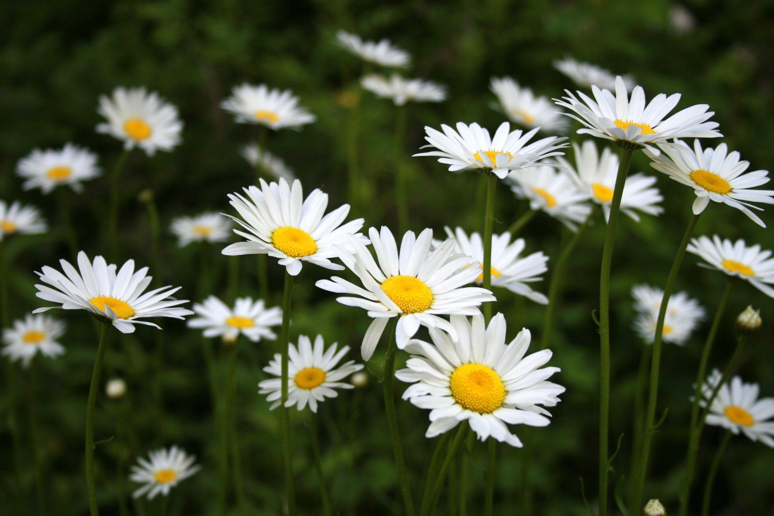 daisies-nature-park-summer-floral-flower-daisy.jpg