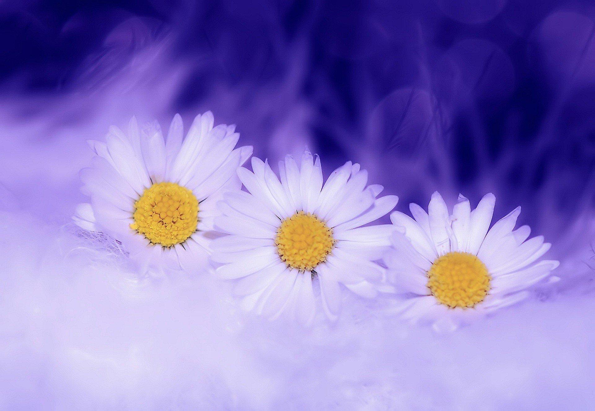 daisy-flowers-white-plant-spring-nature-blossom.jpg