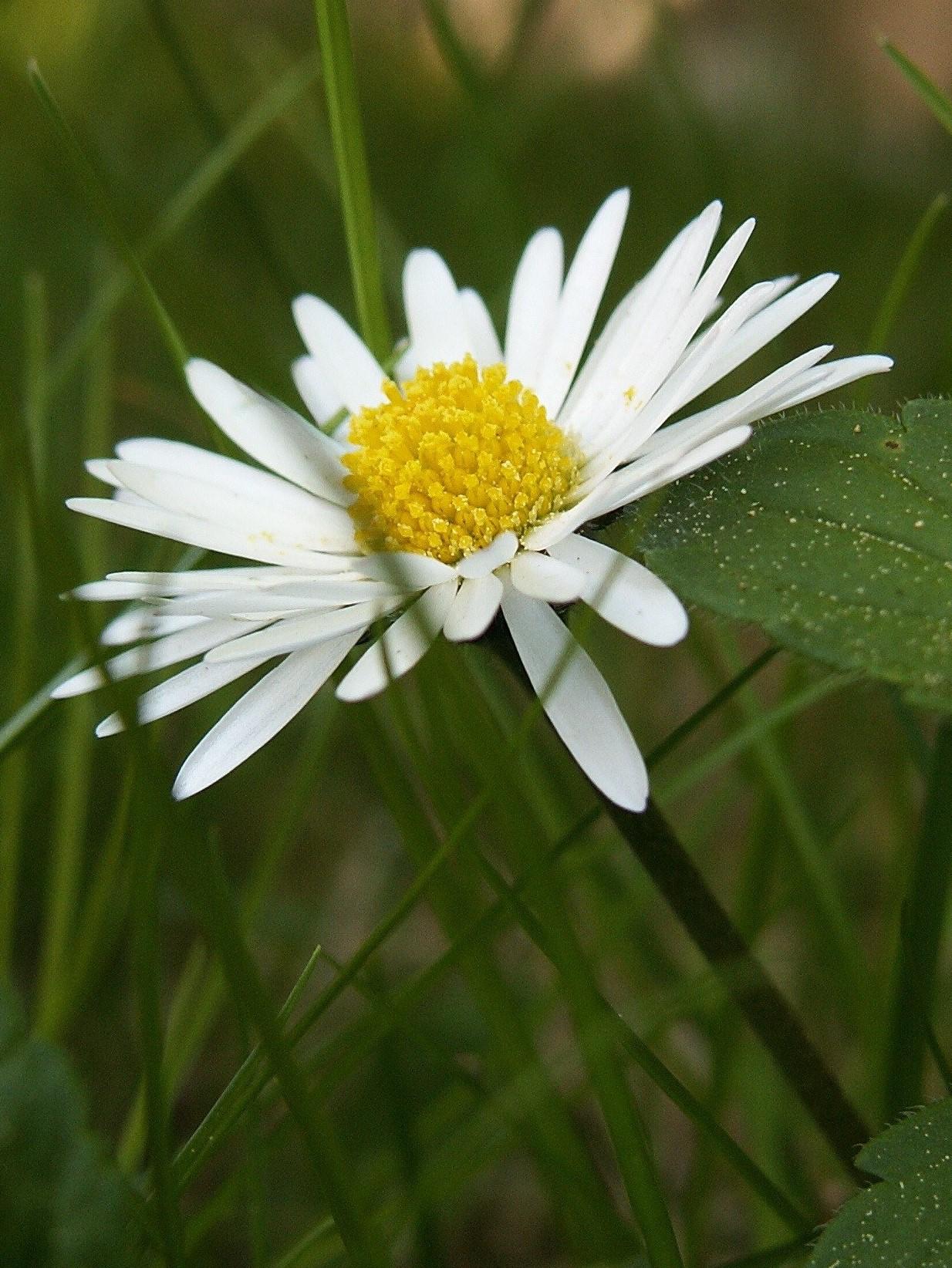 daisy-flower (2).jpg