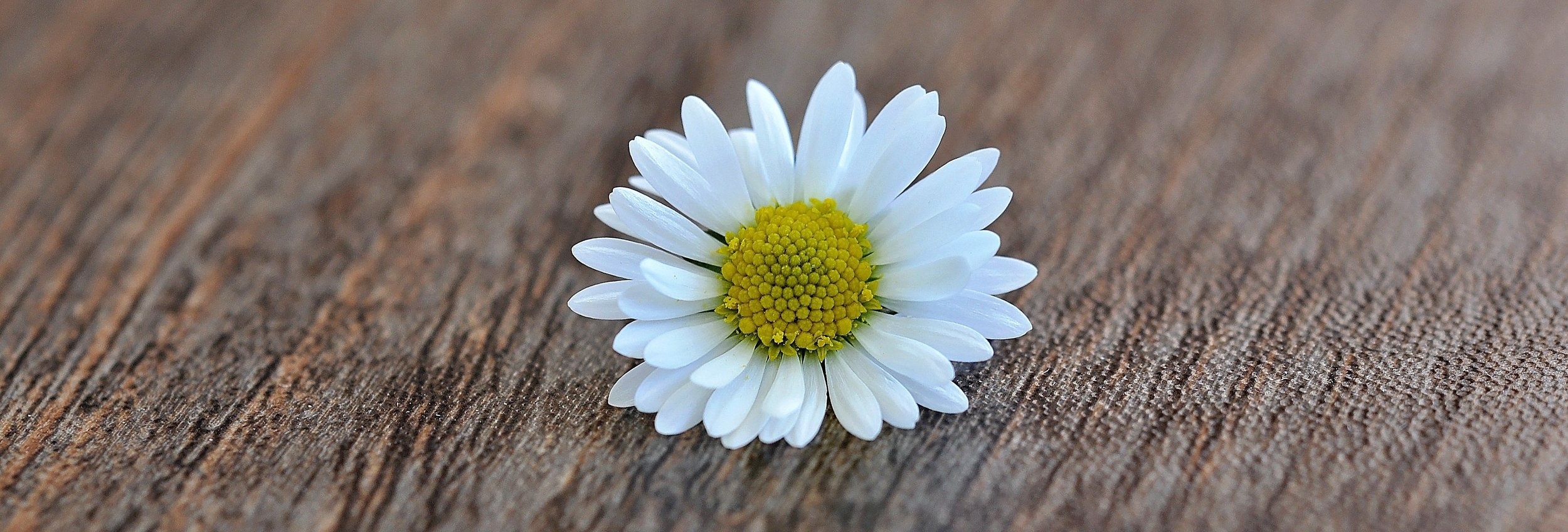 daisy-flower-blossom-bloom-white-wood-close.jpg