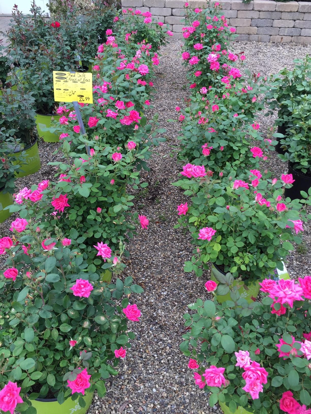 Roses-GardenC1.jpg