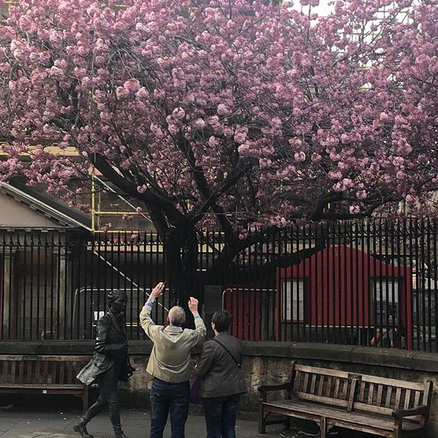 Some people go all the way to Japan to see cherry blossom.  Edinburgh is full of it too and here is a statue of the poet Robert Ferguson, a tragic figure and huge inspiration to Rabbie Burns.  #canongate #canongatekirk #royalmile #royalmileedinburgh #edinburgh #cherryblossom #trees #scotland #bluebadgetouristguide #guidedtour