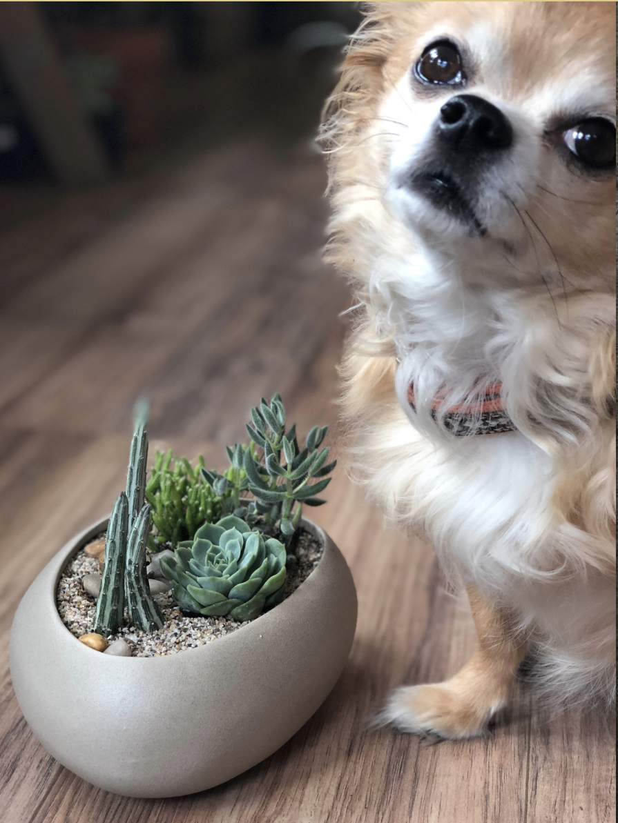 MEET THE SHOP PUPS! - Papi...9 year old Long Hair ChihuahuaHobbies include long naps in his basket behind the counter. On occasion he can be seen greeting customers quickly or bossing Lemon around.