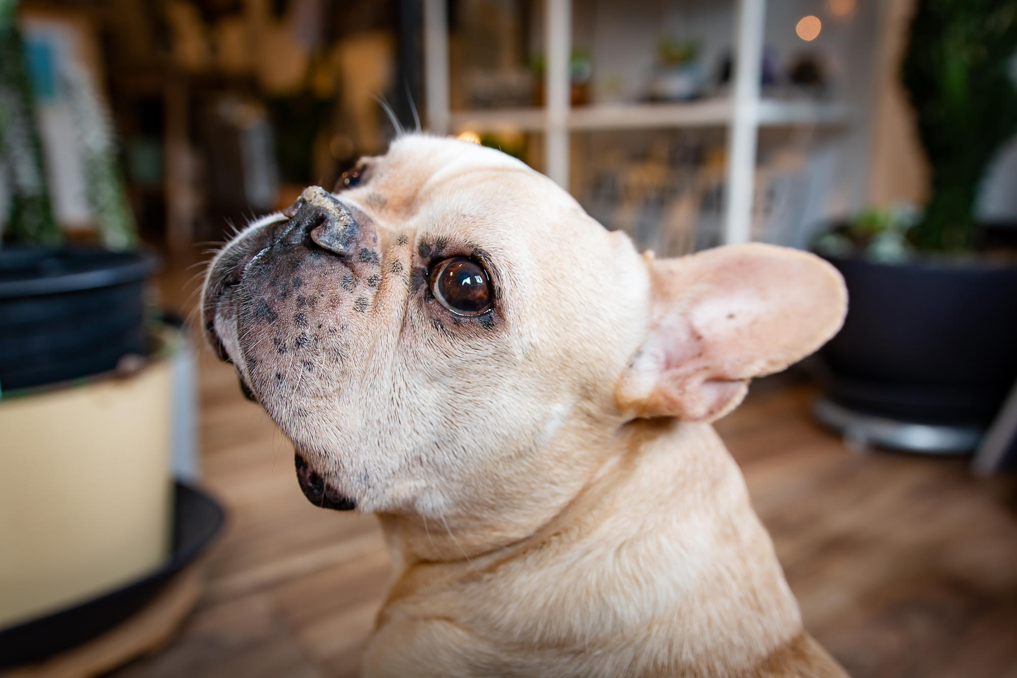 MEET THE SHOP PUPS! - Lemon...8-year-old French Bulldog x Boston TerrierHobbies include sweetly and relentlessly demanding petting and sun soaking at the door, which is cleverly orchestrated in order to receive the most attention from shop visitors.
