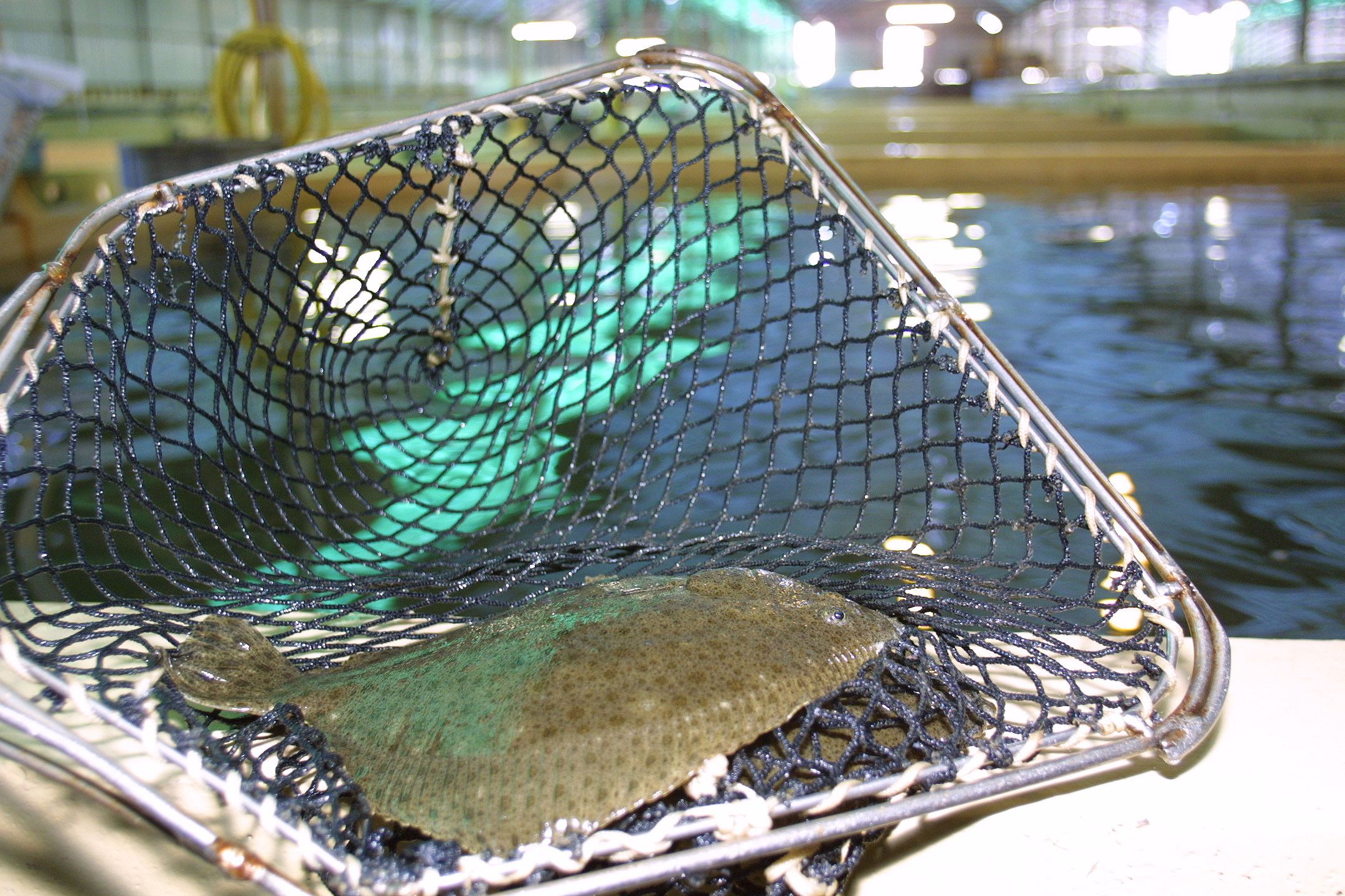 France Turbot in net.JPG