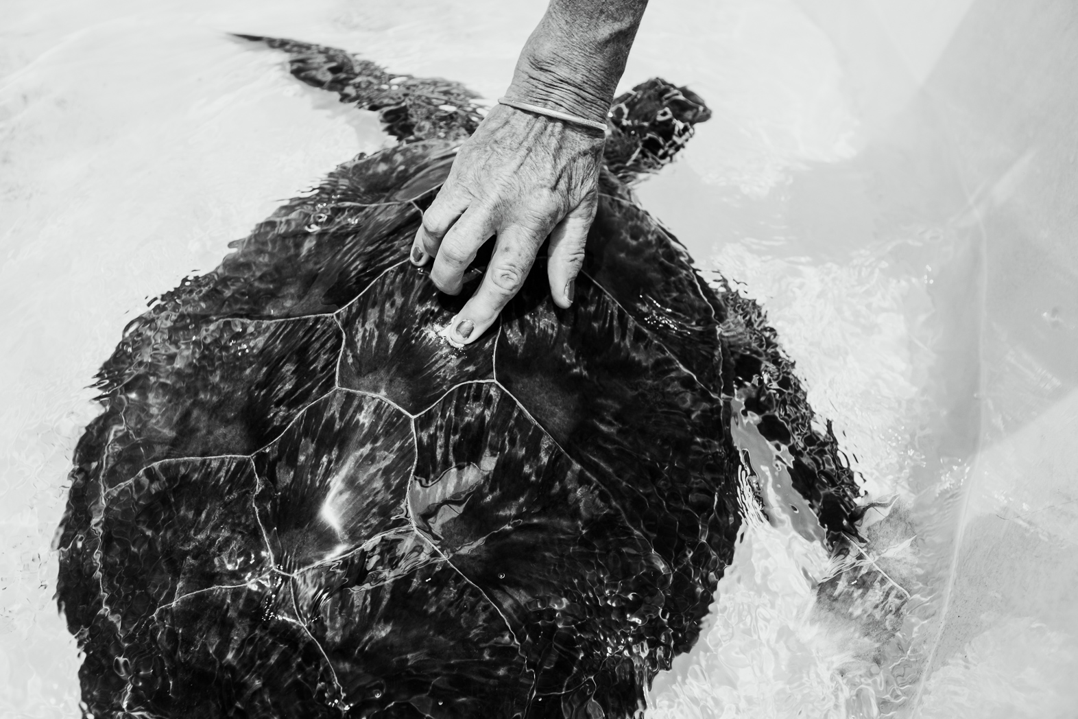 Jennie places antibiotic ointment in a wound from being speared. This turtle had four spear holes in its shell, but due to treatment was able to be healed and released.