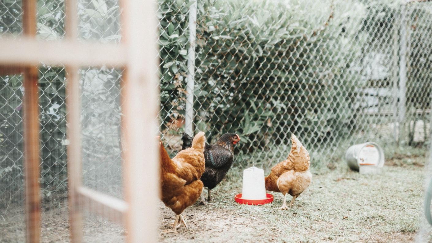 one-wild-ride-blog-image-chickens.jpg