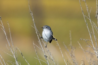 gnatcatcher image.jpeg