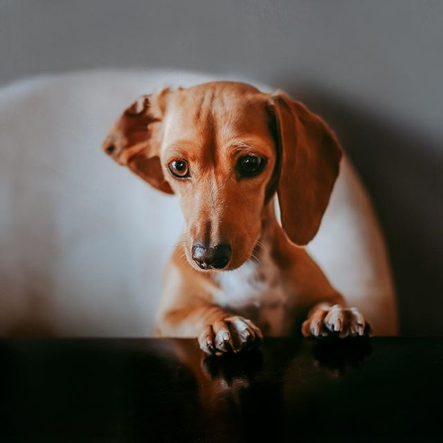 A new level of begging has begun🤦♀️ . . . #cmpro #clickinmoms #clickpro #motherhoodunplugged #dogsofinstagram #pocketpets #lookslikefilmpets