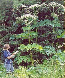Gianthogweed52009.jpg