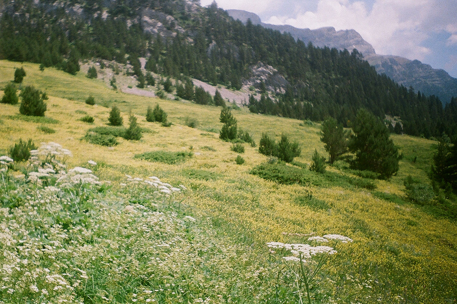 Meadow Pyrenees.jpg
