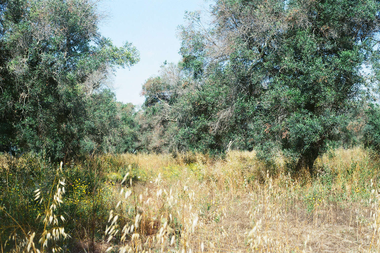 Olives Salento.jpg