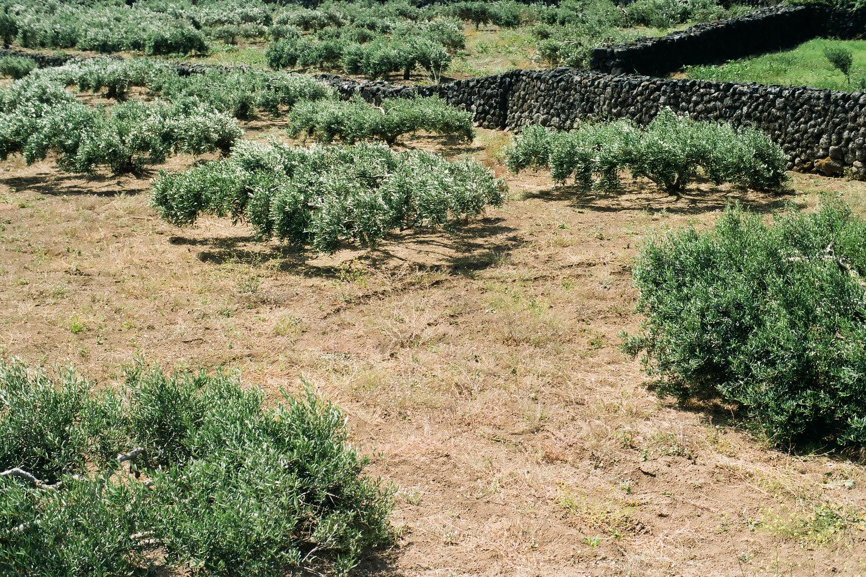 Olives Pantelleria.jpg