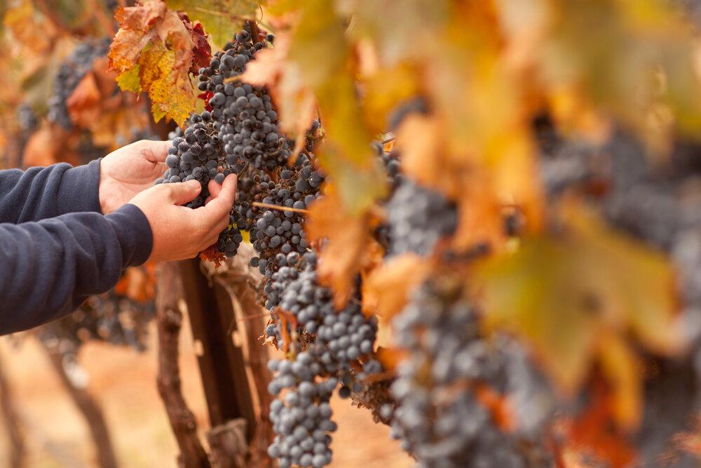 inspecting-grapes-vineyard-exotic-yoga-retreats.jpg