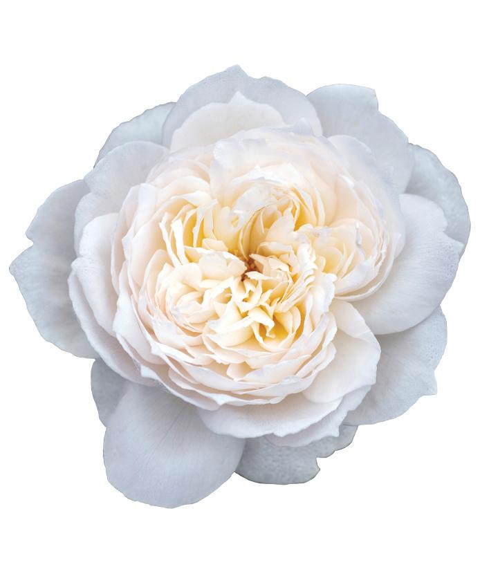 Rose Bolero™