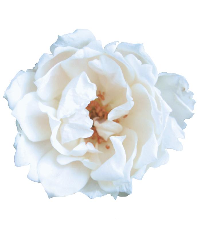 Rose Icecap™