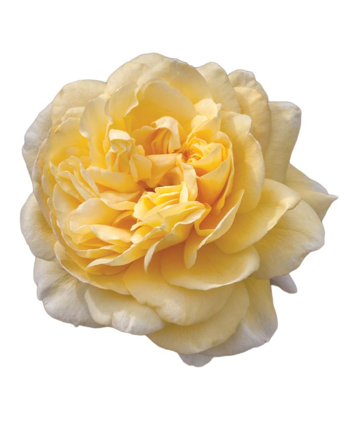 Rose Moonlight Romantica®
