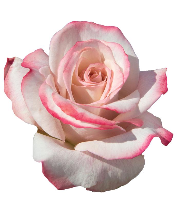 Rose Pinkerbelle™