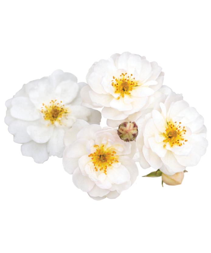 Rose Pretty Polly® White