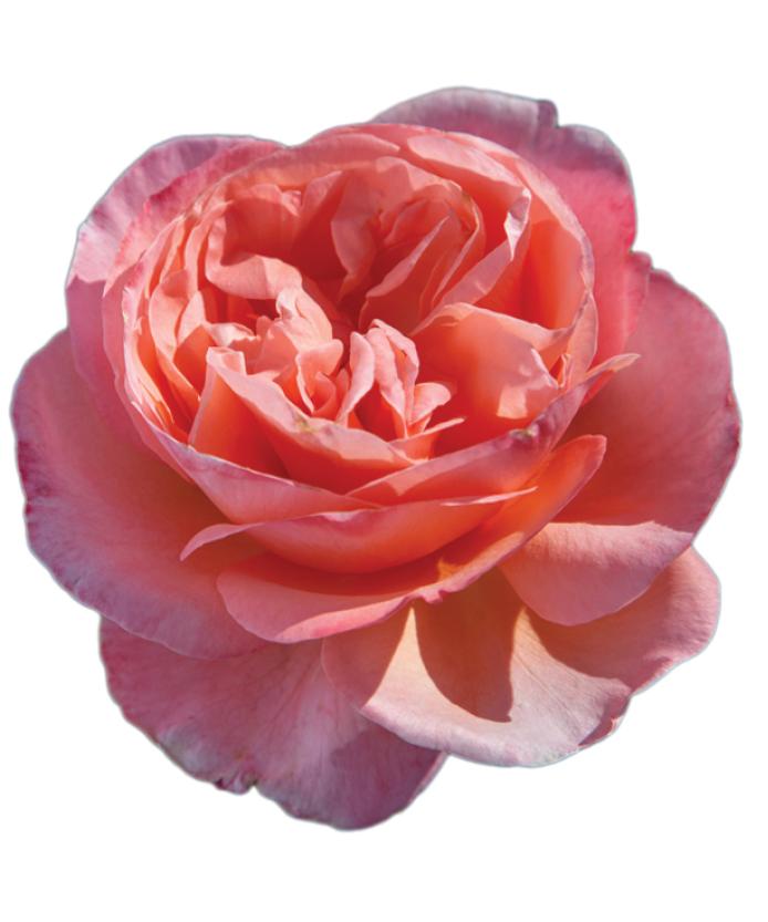 Rose Sweet Mademoiselle™